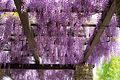 Wisteria in Showa Kinen Park (8699572717).jpg