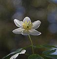 Wood Anemone (3507776905).jpg