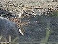 Wood Sandpiper (Tringa glareola) (45712065785).jpg
