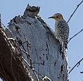 Woodpecker (5484570966).jpg