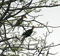 Wreathed Hornbill (Aceros undulatus) possibly on Semal (Bombax ceiba) at Jayanti, Duars, West Bengal W3 IMG 5784.jpg