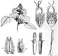 Xanthium, parts of the plant.jpg