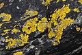 Xanthoria aureola 57362909.jpg