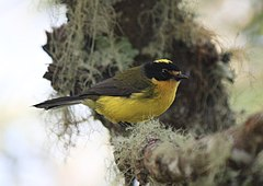 Yellow-crowned Whitestart.jpg