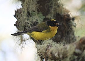 alt=Description de l'image Yellow-crowned Whitestart.jpg.