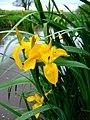 Yellow Flag Iris - geograph.org.uk - 440940.jpg