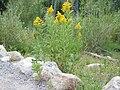 Yellow flowers of Solidago canadensis.jpg