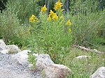 Yellow flowers of Solidago canadensis.jpg