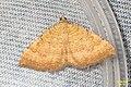 Yellow shell (NH266) (11083680596).jpg