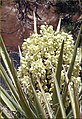 Yucca Plant Bloom, Joshua Tree NP 4-13-13a (8690219842).jpg