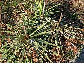 Yucca Filifera Wikipedia