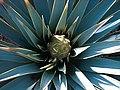 Yucca rigida MEX B.jpg
