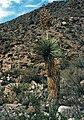 Yucca rostrata fh 1179.90 TX B.jpg