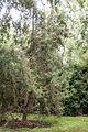 Yunnan Cypress, Christchurch Botanic Gardens.jpg