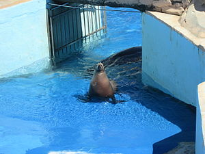 Marineland of Antibes - California sea lion of the park