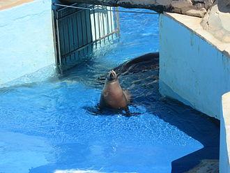 Marineland of Antibes - California sea lion of the park