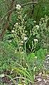 Zigadenus fremontii inezianus 1.jpg