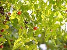 220px-Ziziphus_zizyphus_foliage.jpg