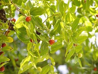 Ziziphus - Image: Ziziphus zizyphus foliage