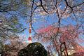 Zojoji Sakura.jpg