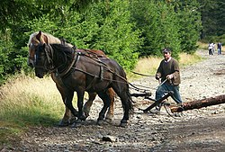 Zrywka drewna końmi w Masywie Śnieżnika