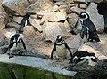 Zwartvoegpinguins avifauna alphen aan den rijn.jpg