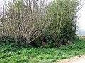 """Into the Bushes"", footpath near Alveley, Shropshire - geograph.org.uk - 401027.jpg"