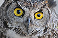 """The owls are not what they seem"" (5465827413).jpg"