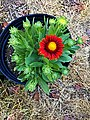 'Arizona Red Shades' gaillardia IMG 2750.jpg