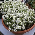 'Giga White' alyssum IMG 5057.jpg