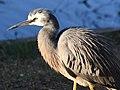 (1)Heron Hunting 124.jpg