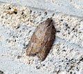 (1041) Acleris sparsana - Flickr - Bennyboymothman.jpg