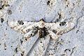 (1825) Lime-speck Pug (Eupithecia centaureata) - Flickr - Bennyboymothman.jpg