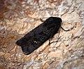 (2232) Black Rustic (Aporophyla nigra) (36595798393).jpg