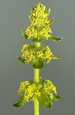 (MHNT) Cruciata laevipes - Inflorescence.jpg