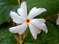 (Nyctanthes arbor-tristis) flower at Madhurawada 02.JPG