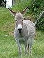 Âne gris dun en Mayenne (5).jpg