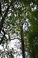 Айлант високий у Кам'янець-Подільському.jpg