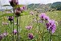 Альпийская флора, Эрнедыген-Мехтыген, северо-восточная граница Кабардино-Балкарского горного заповедника.jpg