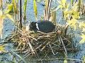 Барський орнітологічний заказник лисуха.jpg