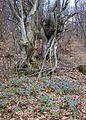 В буковому лісі - panoramio.jpg