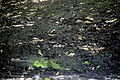 Голосіївський ліс Дрозда практично не видно DSC 0574.jpg