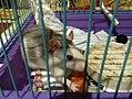 Декоративная крыса.jpg