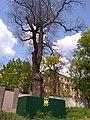 Один з чорноглазівських дубів на Бажанова 11.jpg