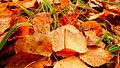 Осенние листья в лесу.JPG