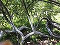 Яблуня-колонія Кролевця.jpg