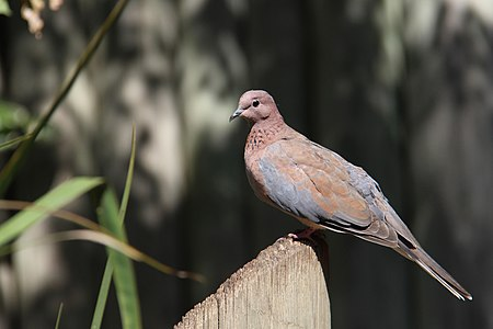 Laughing Dove at Tel Aviv zoo