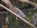 ปลาตีน สวนสัตว์เชียงใหม่ Mudskipper in Chiang Mai Zoo (1).jpg