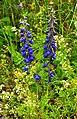 დეზურა აღმოსავლური Delphinium orientalis orientalischer Rittersporn.jpg