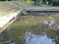 サンクンガーデンの池の鯉 - panoramio.jpg